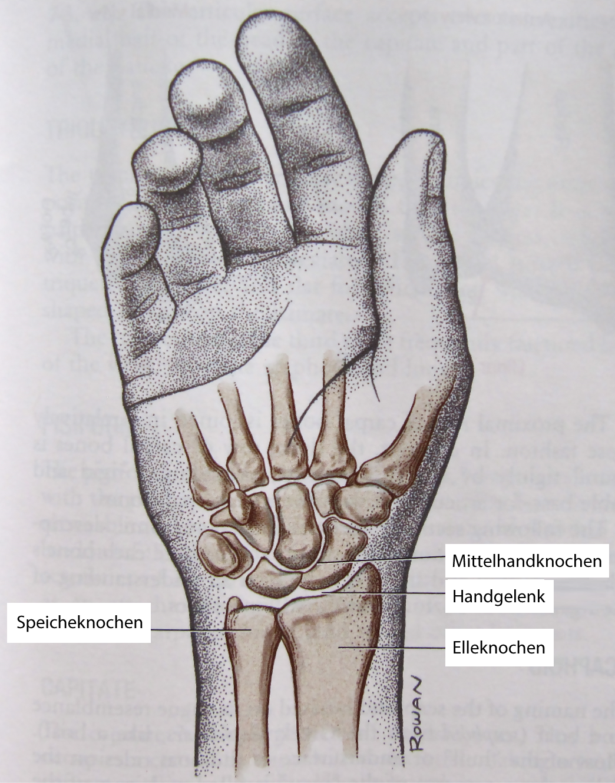 Gemütlich Knochen Der Hand Und Des Handgelenks Fotos - Menschliche ...