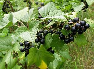Blatt-schwarze Johannisbeere-Nahrungsergänzung