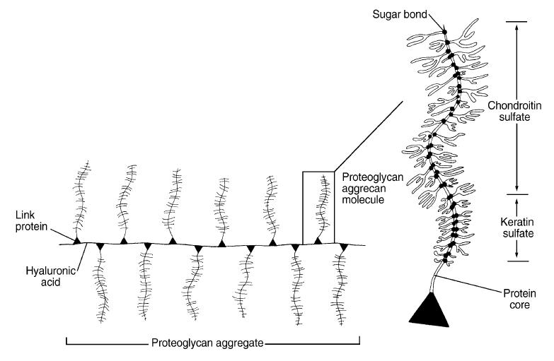 Struktur-proteoglycane