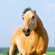 Mürrisches Pferd im Stall auch beim Reiten mürrisch